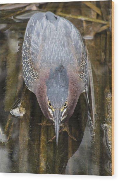 Focused Green Heron Wood Print