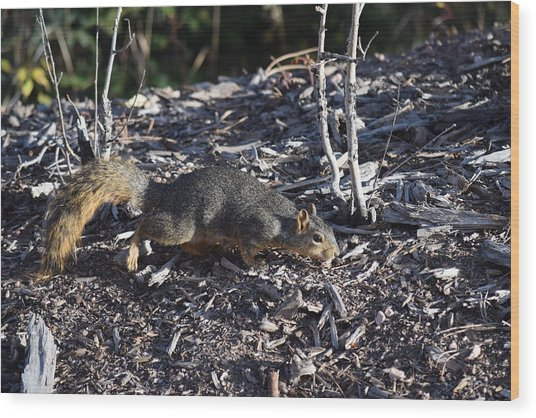 Squirrel Pprh Woodland Park Co Wood Print