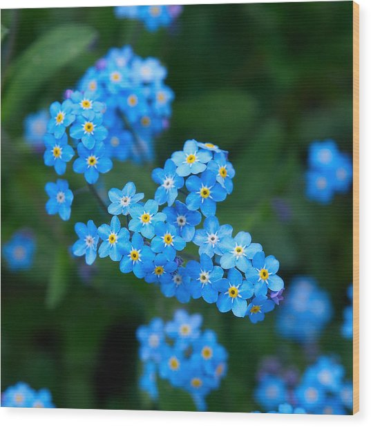 Forget -me-not 5 Wood Print