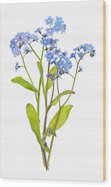 Forget-me-not Flowers On White Wood Print