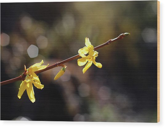 Wood Print featuring the photograph Forsythia Flowers by Helga Novelli