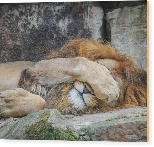 Fort Worth Zoo Sleepy Lion Wood Print