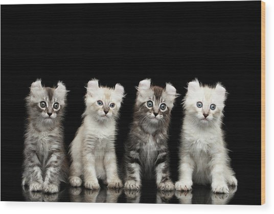 Four American Curl Kittens With Twisted Ears Isolated Black Background Wood Print