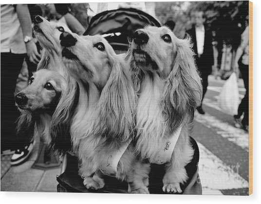 Four Dogs In A Stroller Wood Print