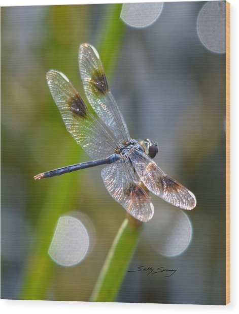 Four Spotted Pennant Wood Print