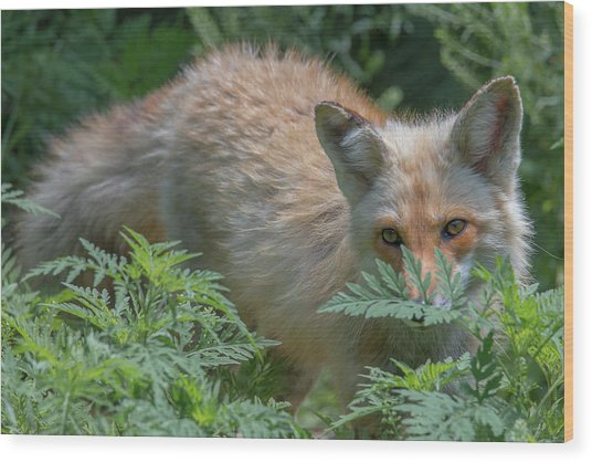 Fox In The Ferns Wood Print