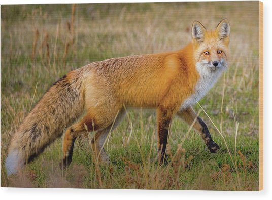 Fox Trot // Yellowstone National Park  Wood Print