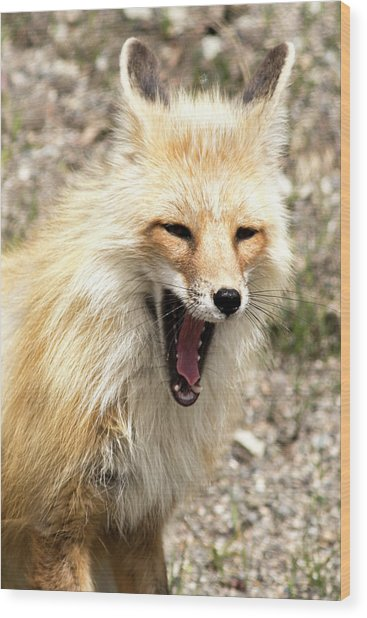 Fox Yawn Wood Print