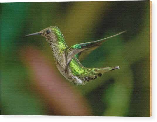 Frequent Flyer 2, Mindo Cloud Forest, Ecuador Wood Print