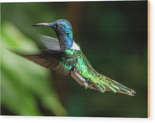 Frequent Flyer, Mindo Cloud Forest, Ecuador Wood Print