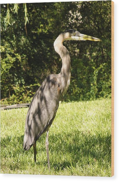 Friday Visitor-heron Wood Print