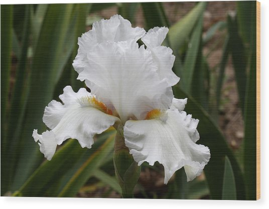 Frilly White Iris Flower Wood Print