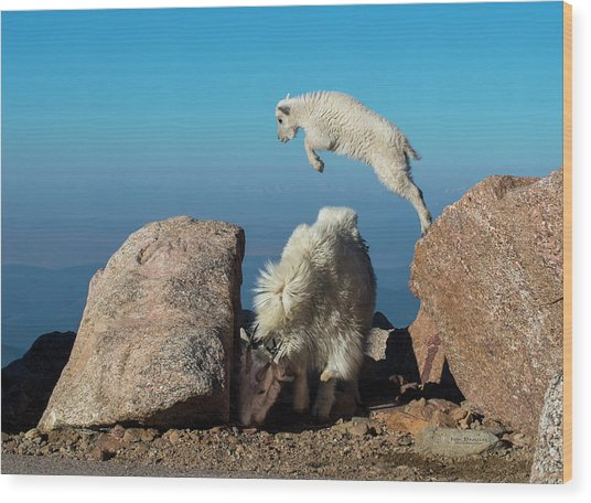 Leaping Baby Mountain Goat Wood Print