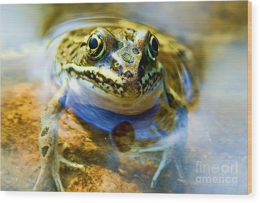 Frog In Pond Wood Print