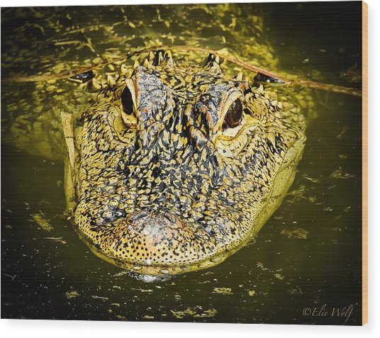 From The Series I Am Gator Number 5 Wood Print