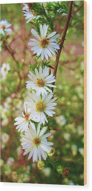 Frost Aster Wood Print
