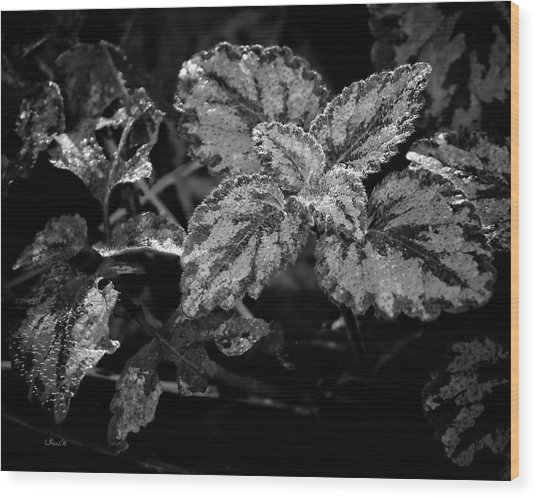 Frosted Hosta Wood Print