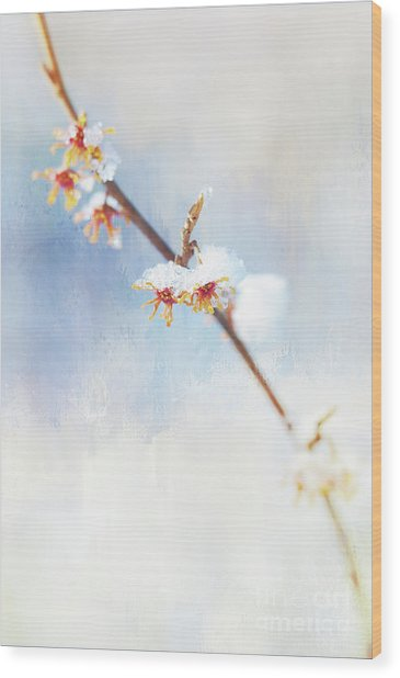 Frosted Witch Hazel Blossoms  Wood Print
