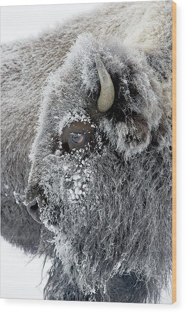Frosty Bison Wood Print