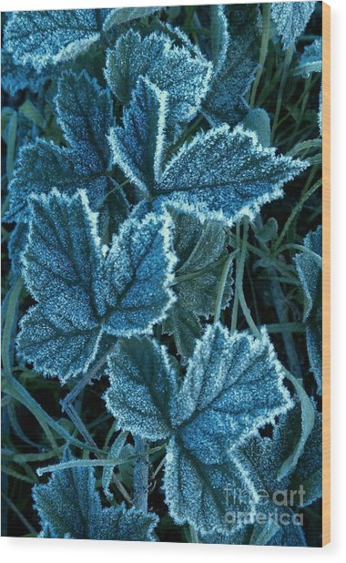 Frosty Ivy Wood Print