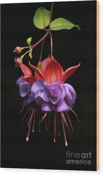 Fuchsia - Tiny Dancers Wood Print by Robert Nankervis