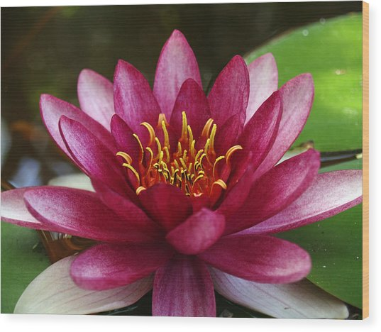 Full Lotus Wood Print