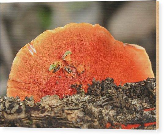 Fungi Pycnoporus Coccineus Wood Print by Tony Brown