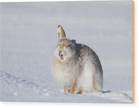 Funny Face - Mountain Hare - Scottish Highlands  #13 Wood Print