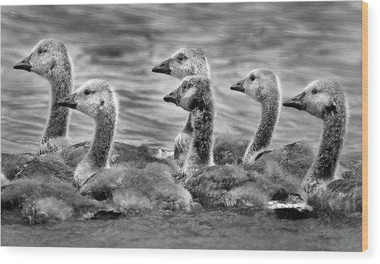 Gaggle Of Goslings Wood Print