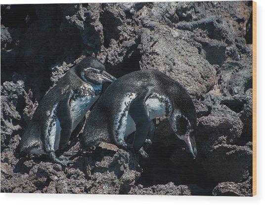 Galapagos Penguins  Bartelome Bartholomew Island Galapagos Islands Wood Print
