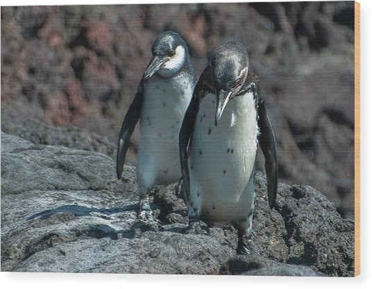 Galapagos Penguins  Bartelome Island Galapagos Islands Wood Print