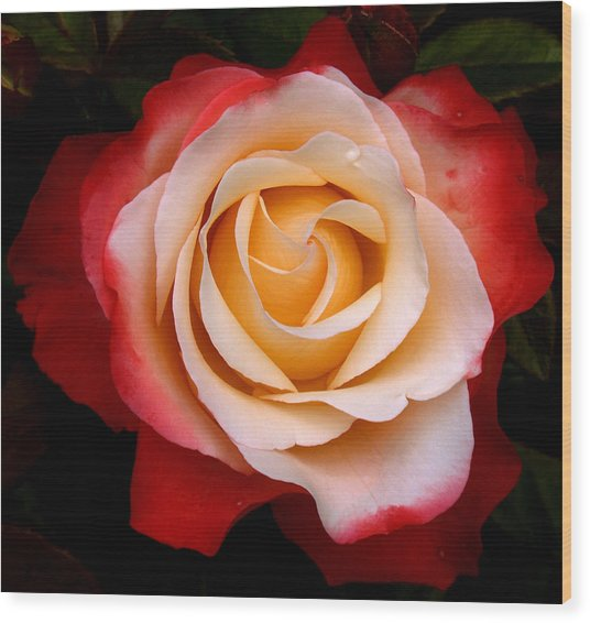 Wood Print featuring the photograph Garden Rose by Luc Van de Steeg