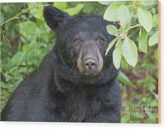 Gazing Black Bear Wood Print