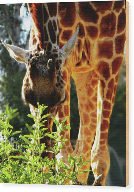Wood Print featuring the photograph Gentle Giant by Pacific Northwest Imagery