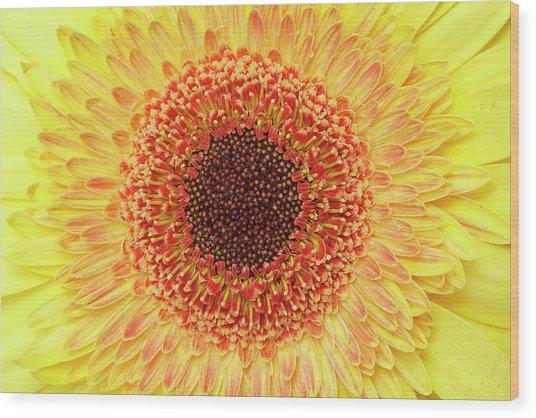 Gerber Daisy Wood Print
