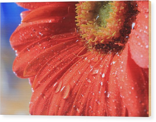Gerbera Daisy After The Rain Wood Print