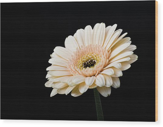 Wood Print featuring the photograph Gerbera Daisy On Black II by Clare Bambers