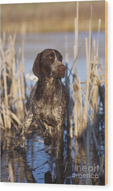 German Shorthair On Point -  D000897 Wood Print