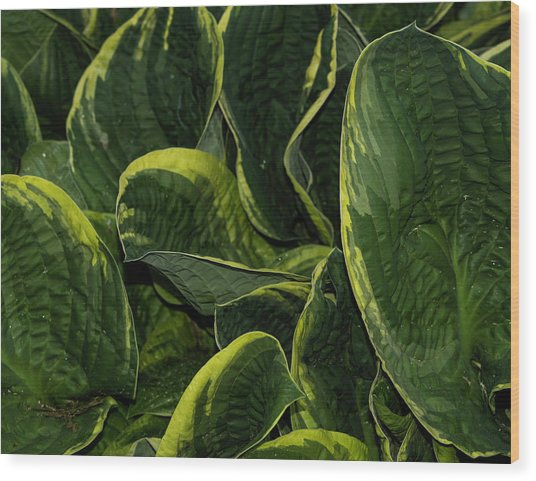 Giant Hosta Closeup Wood Print