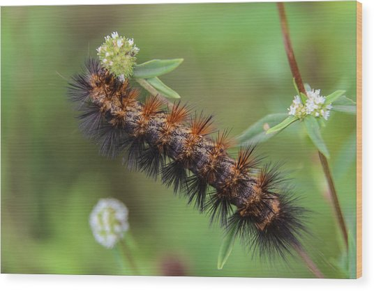 Giant Leopard Moth Caterpillar Wood Print