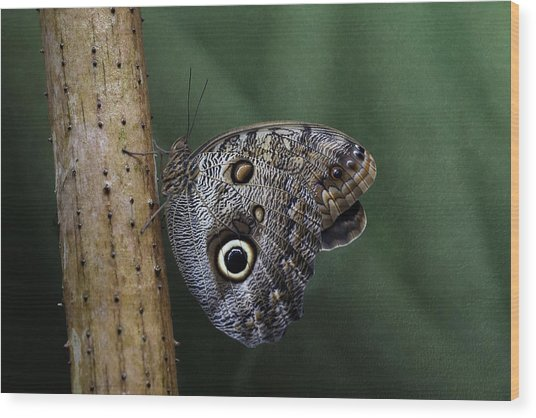 Giant Owl Butterfly On Screw Pine Wood Print
