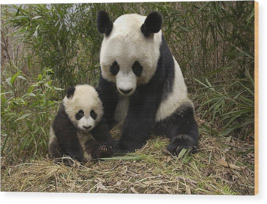 Wood Print featuring the photograph Giant Panda Ailuropoda Melanoleuca by Katherine Feng
