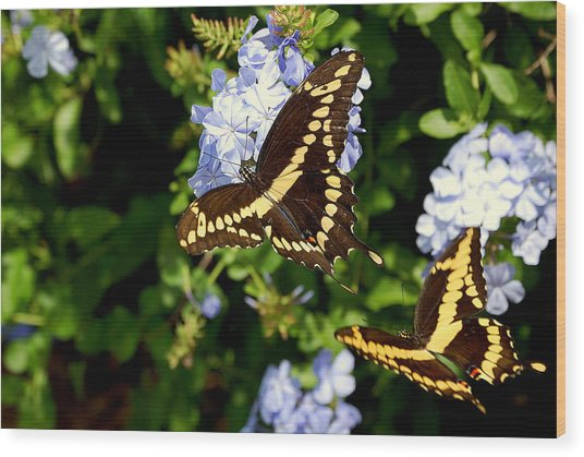 Giant Swallowtails Wood Print by Steven Scott