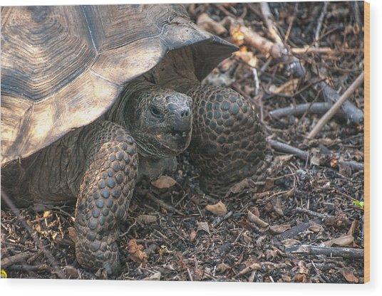 Giant Tortoise At Urbina Bay On Isabela Island  Galapagos Islands Wood Print