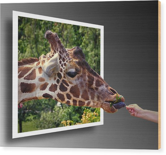 Giraffe Feeding Out Of Frame Wood Print