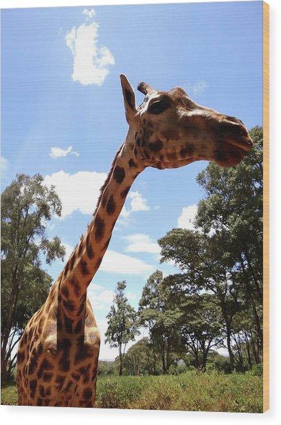 Giraffe Getting Personal 3 Wood Print