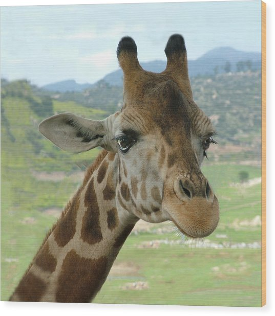 Giraffe Portrait Wood Print