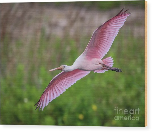 Gliding Spoonbill Wood Print