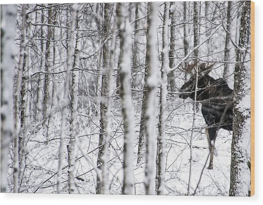 Glimpse Of Bull Moose Wood Print