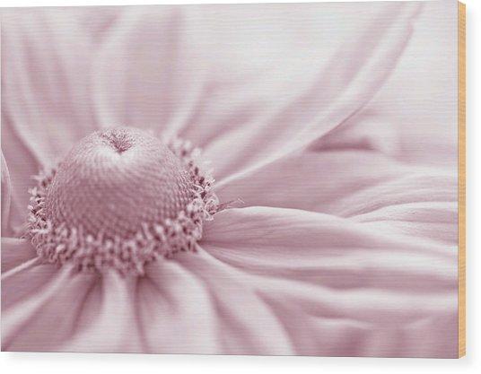 Gloriosa Daisy In Pink  Wood Print